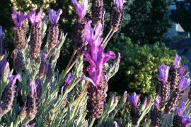 Lavender at home - Moved