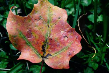 Autumn leaf - The Rennie Farm