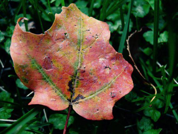 Autumn leaf - The Rennie Farm
