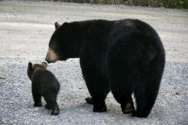 Black bear mother and baby - the story unseen